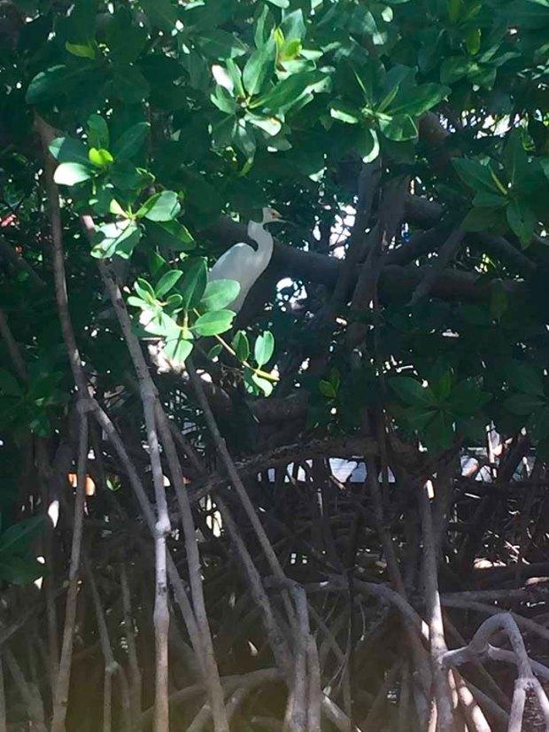 mangrovebird